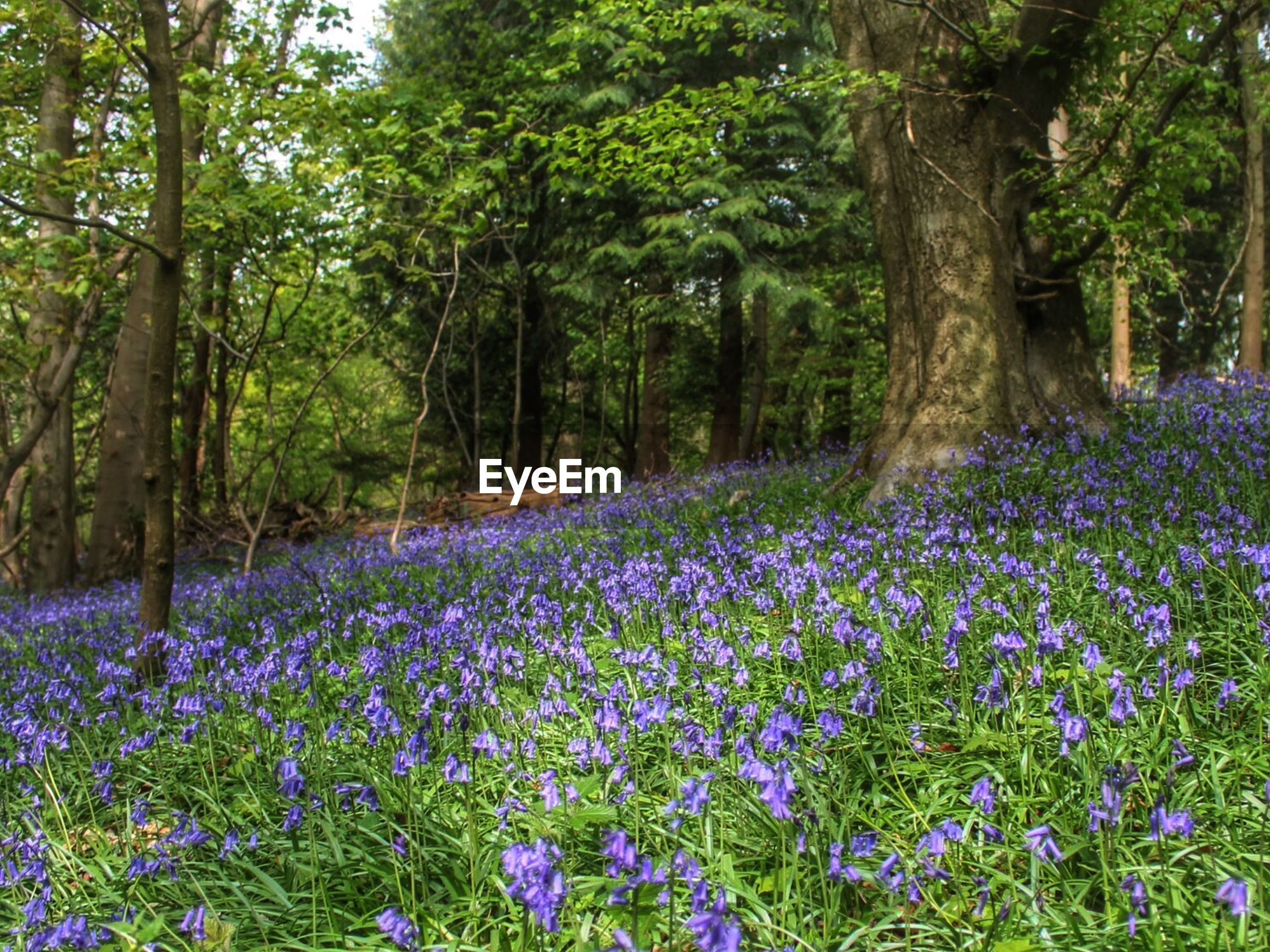 flower, growth, beauty in nature, purple, freshness, tree, nature, fragility, tranquility, plant, blooming, tranquil scene, scenics, park - man made space, abundance, petal, in bloom, field, day, forest