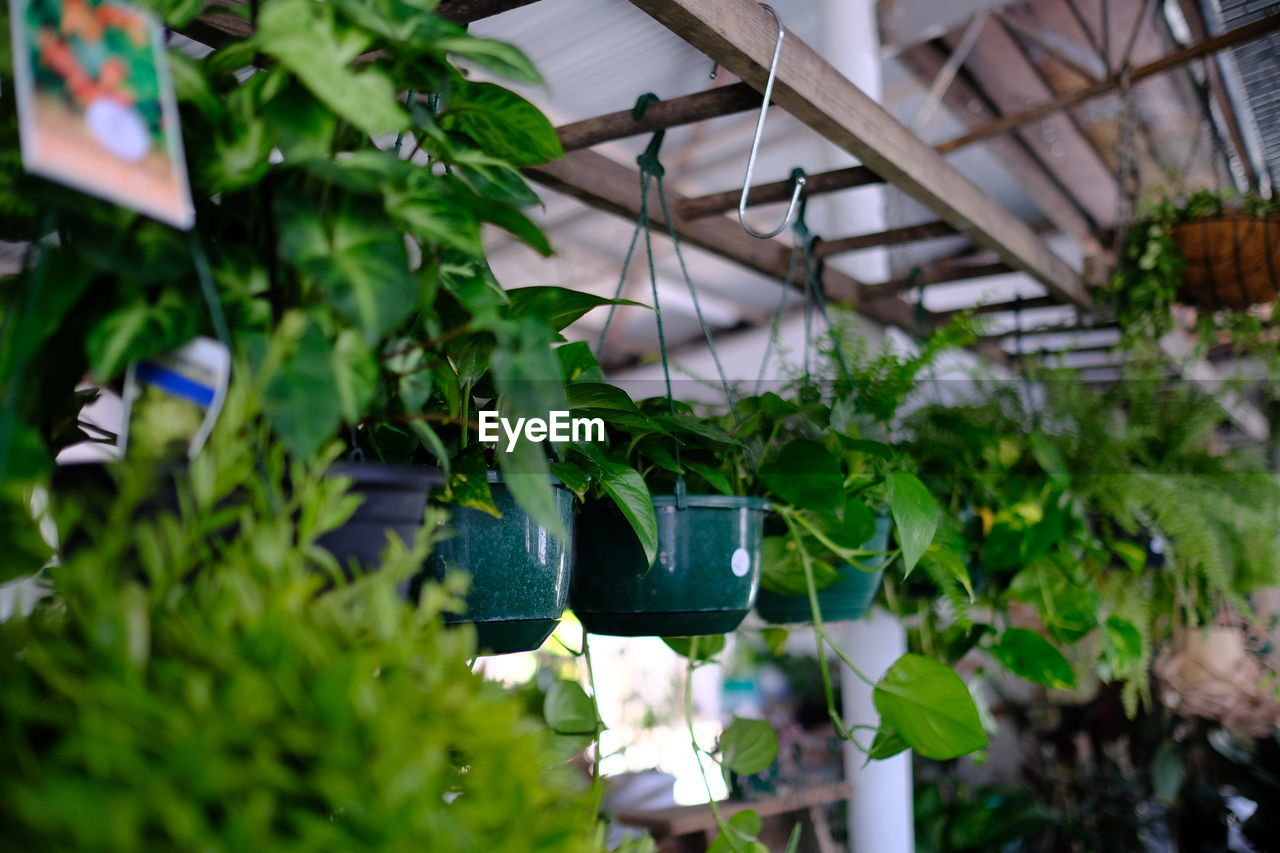 leaf, plant part, plant, green color, growth, hanging, greenhouse, nature, plant nursery, day, potted plant, no people, focus on foreground, close-up, indoors, freshness, beauty in nature, selective focus, food and drink, ceiling