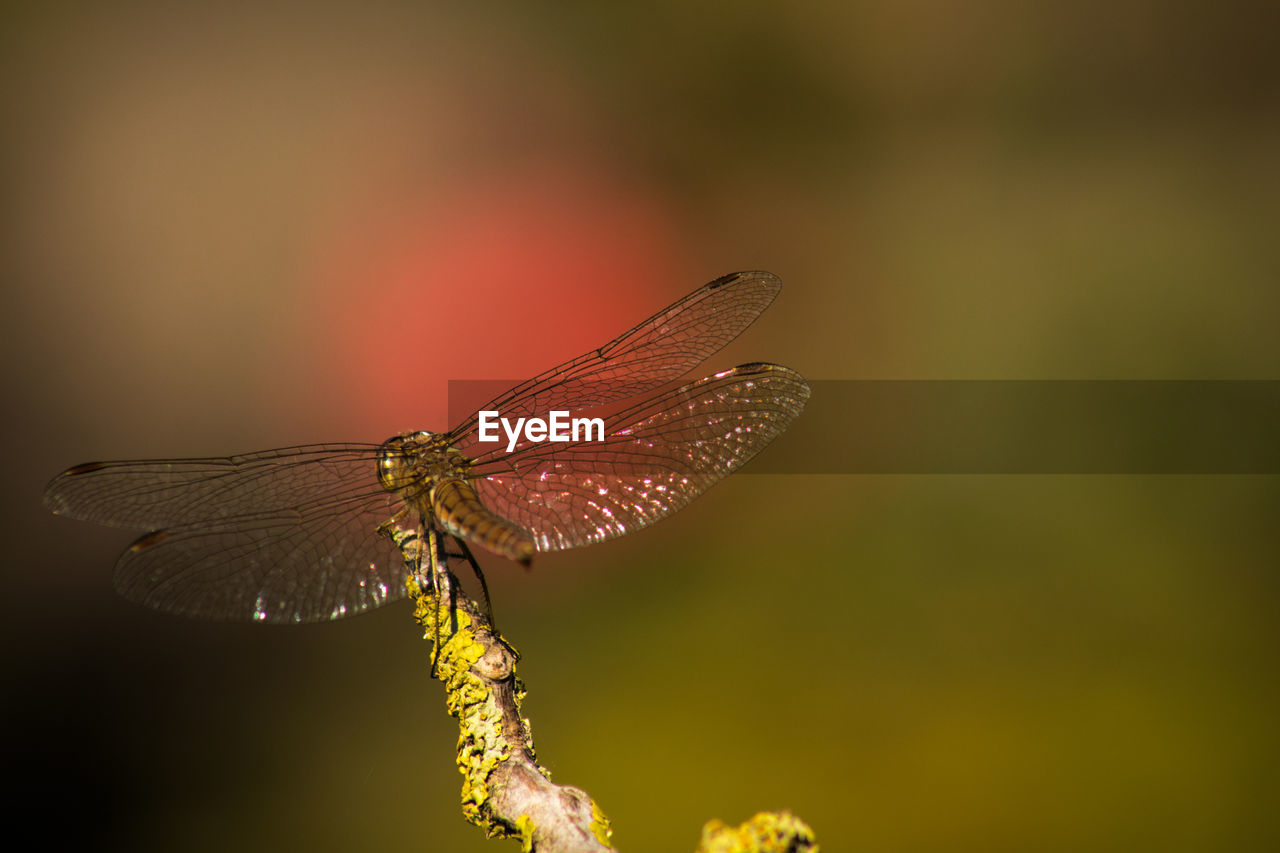 one animal, animal wildlife, insect, invertebrate, animals in the wild, animal themes, animal, animal wing, close-up, focus on foreground, no people, dragonfly, nature, beauty in nature, plant, outdoors, zoology, day, selective focus, flower