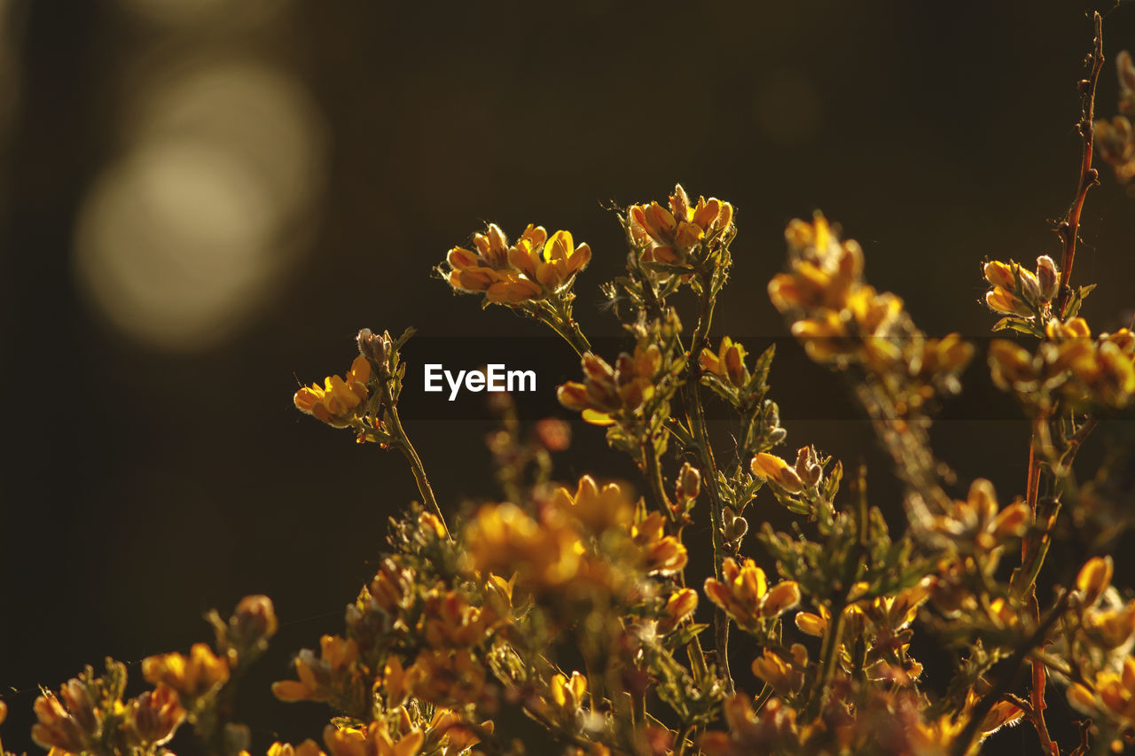 flower, plant, flowering plant, growth, beauty in nature, fragility, freshness, vulnerability, selective focus, close-up, yellow, nature, flower head, no people, petal, inflorescence, day, focus on foreground, sunlight, outdoors