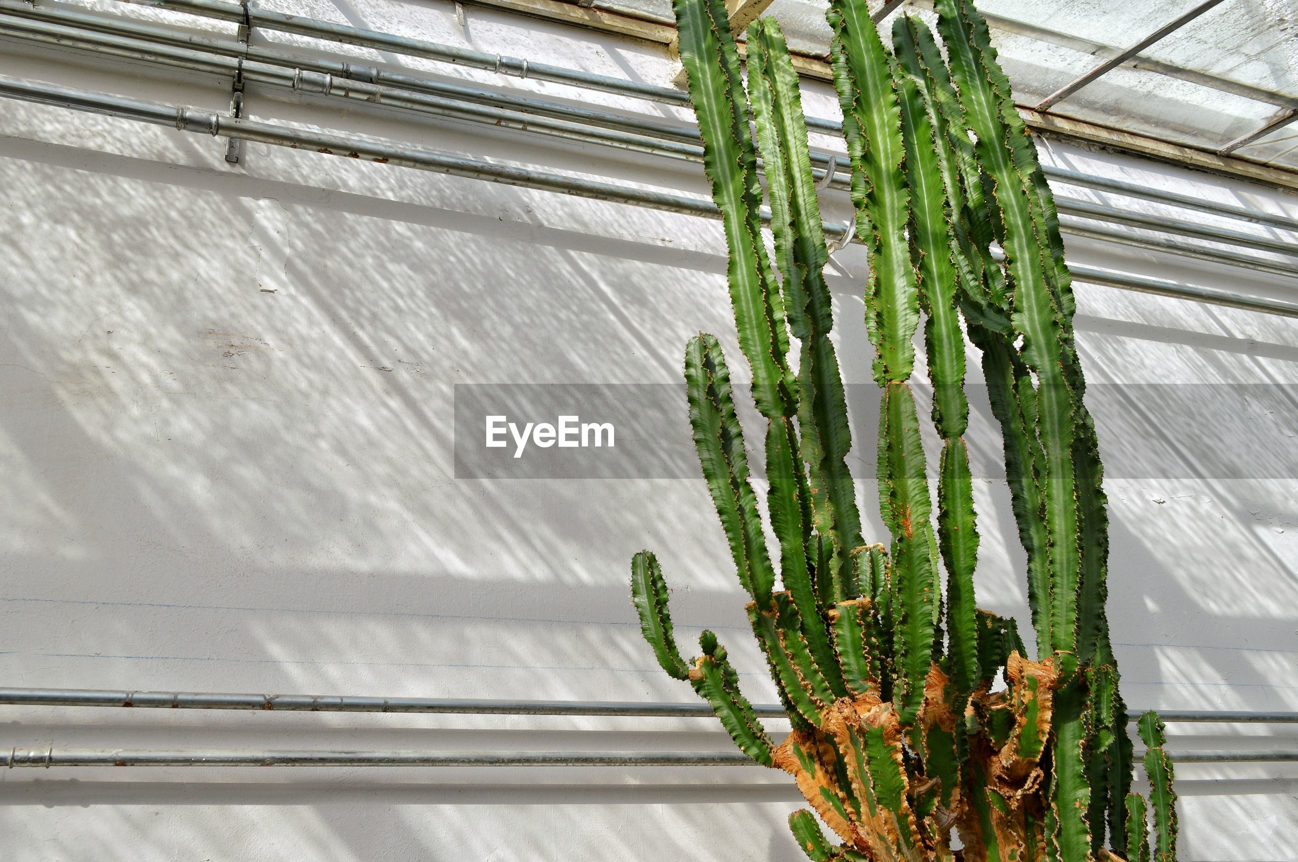 Low angle view of cactus growing against white wall