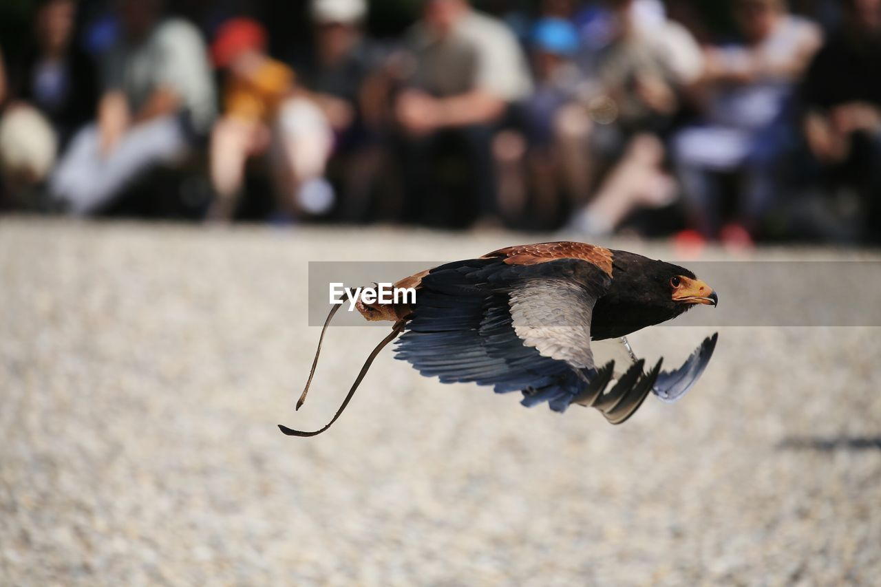 Eagle Flying Against Crowd Over Field