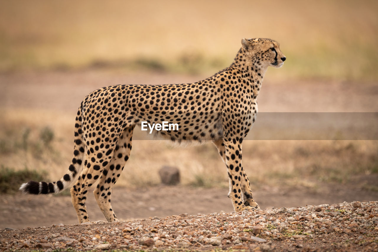 Side view of cheetah on field