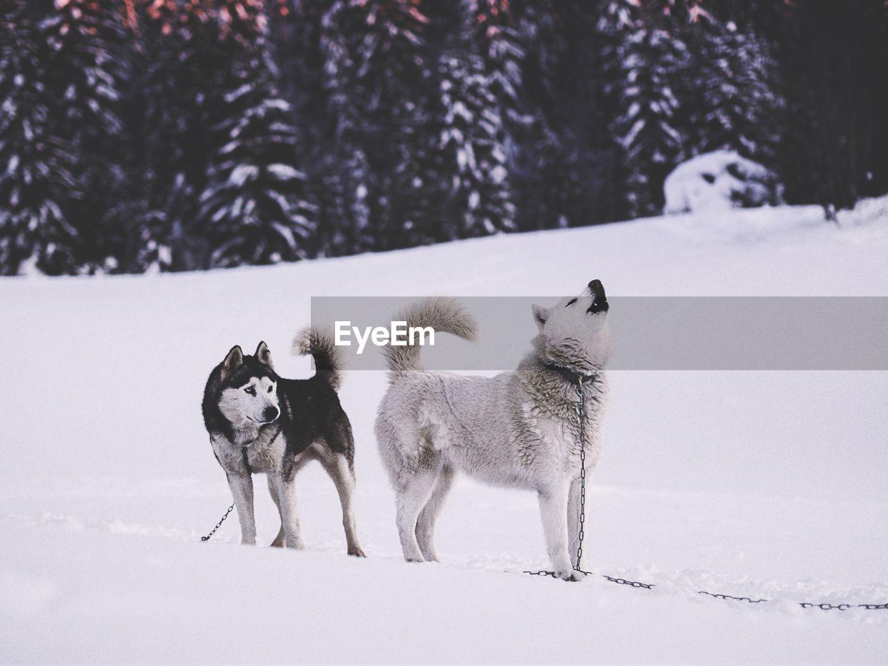 Husky Dogs On Snow Covered Landscape
