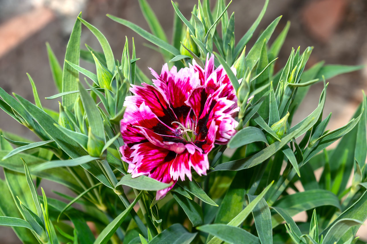 flower, flowering plant, plant, freshness, beauty in nature, vulnerability, fragility, petal, growth, close-up, inflorescence, flower head, pink color, green color, nature, leaf, plant part, day, no people, focus on foreground, outdoors