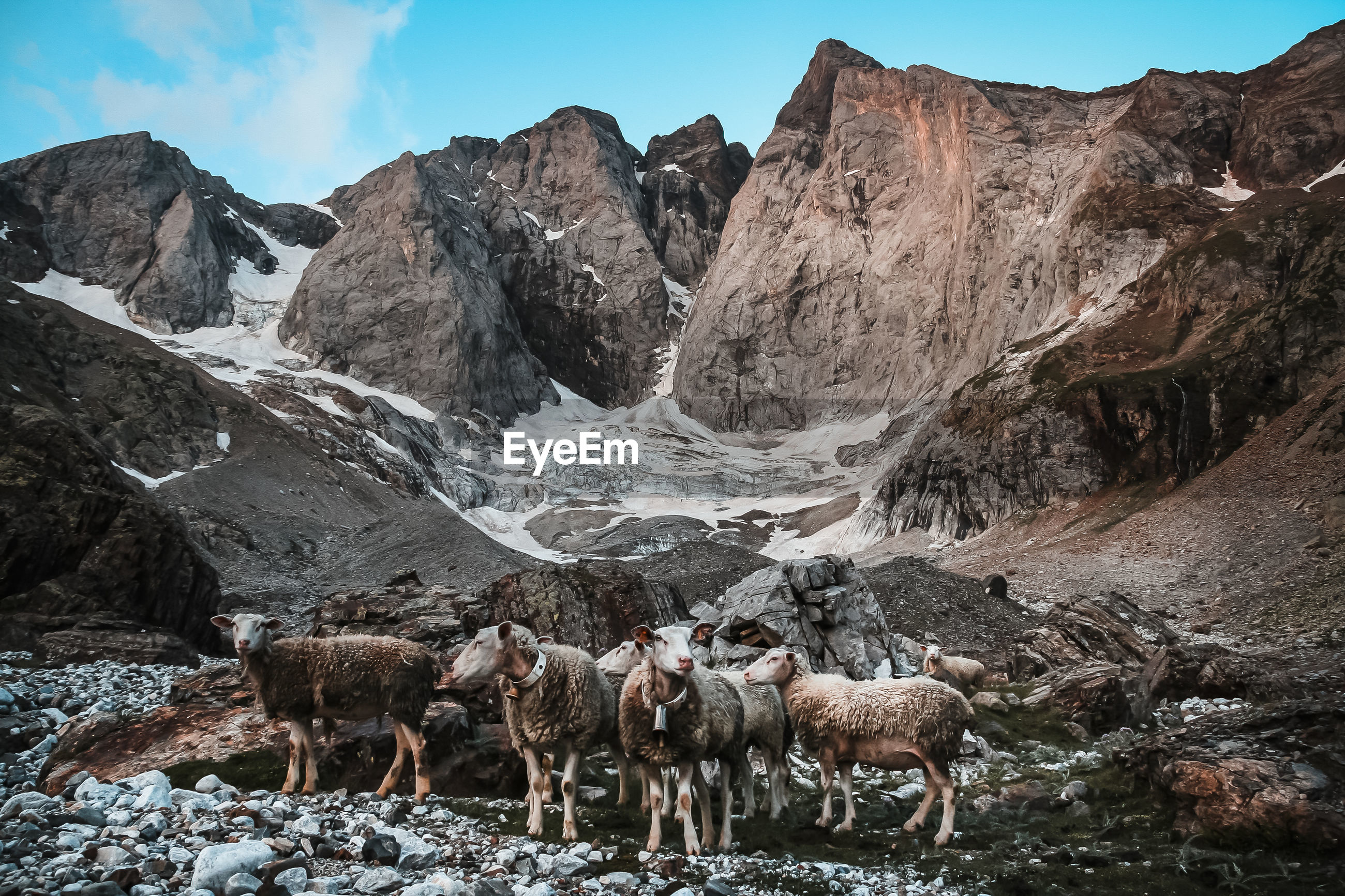 PANORAMIC VIEW OF SHEEP ON MOUNTAIN