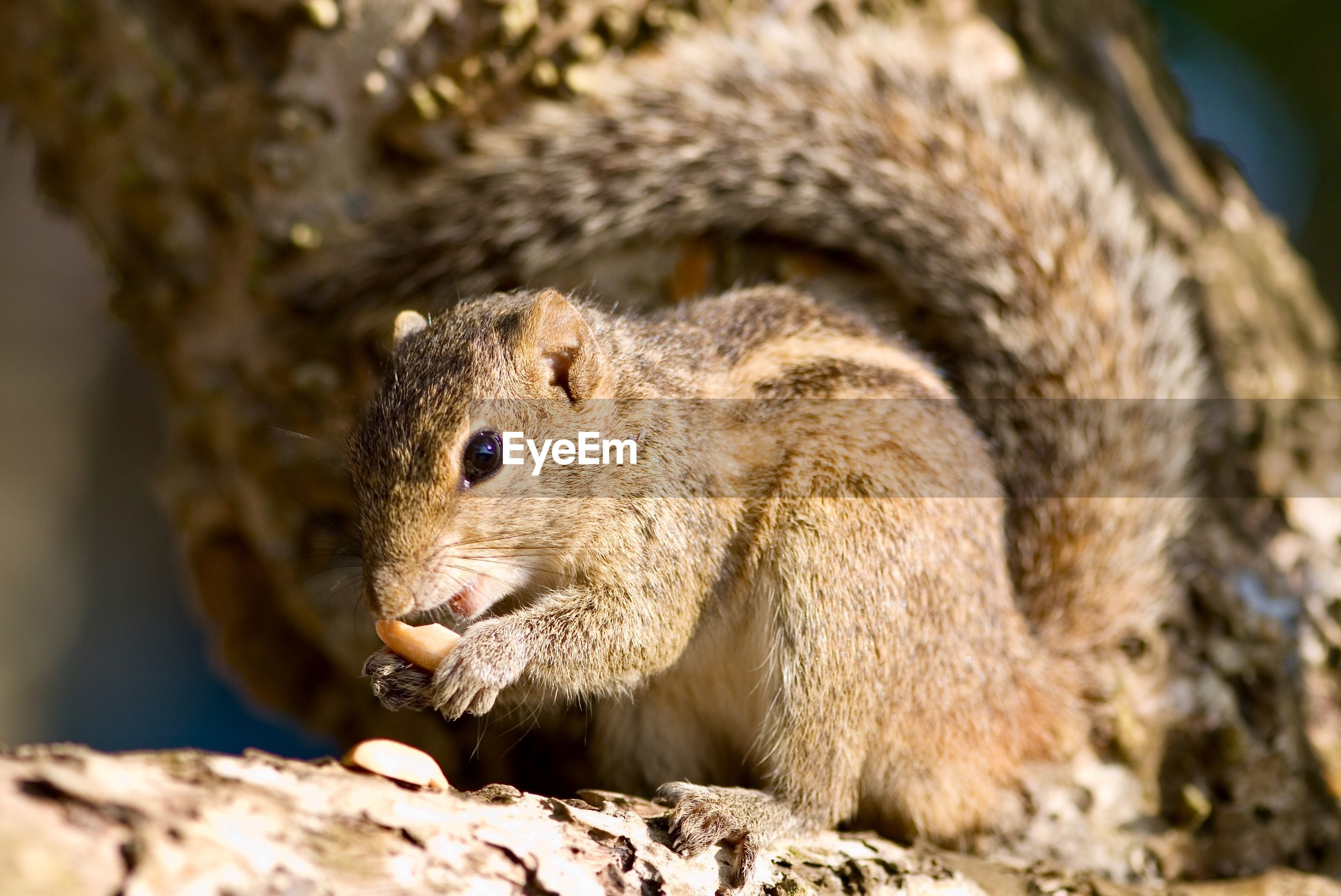 CLOSE-UP OF SQUIRREL EATING ROCK