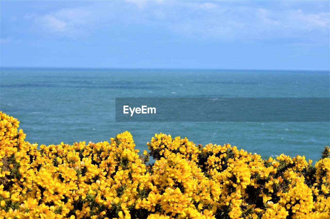 beauty in nature, sea, sky, horizon, flower, horizon over water, yellow, scenics - nature, plant, flowering plant, water, nature, tranquil scene, growth, tranquility, no people, land, day, blue, outdoors