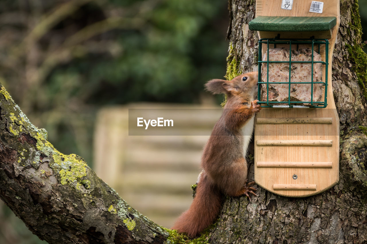 VIEW OF SQUIRREL ON TREE TRUNK