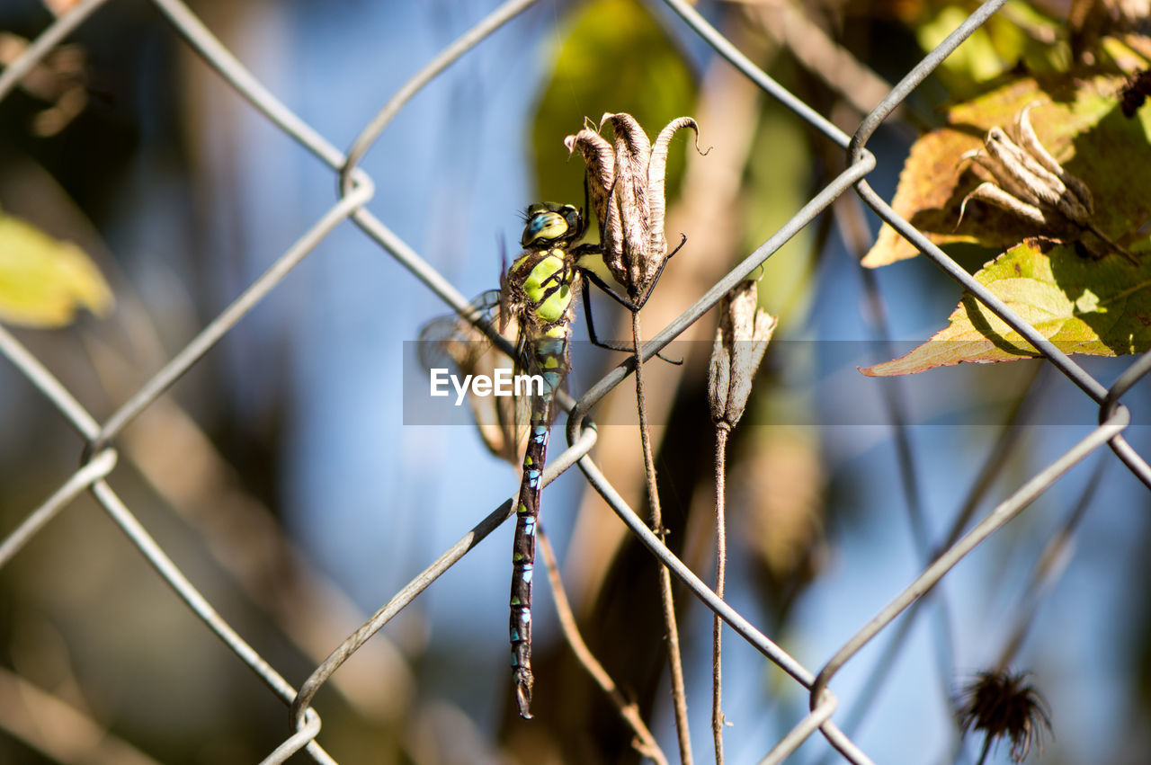 fence, boundary, animal wildlife, barrier, animals in the wild, animal themes, one animal, chainlink fence, animal, focus on foreground, close-up, no people, day, safety, nature, protection, security, invertebrate, insect, metal, outdoors