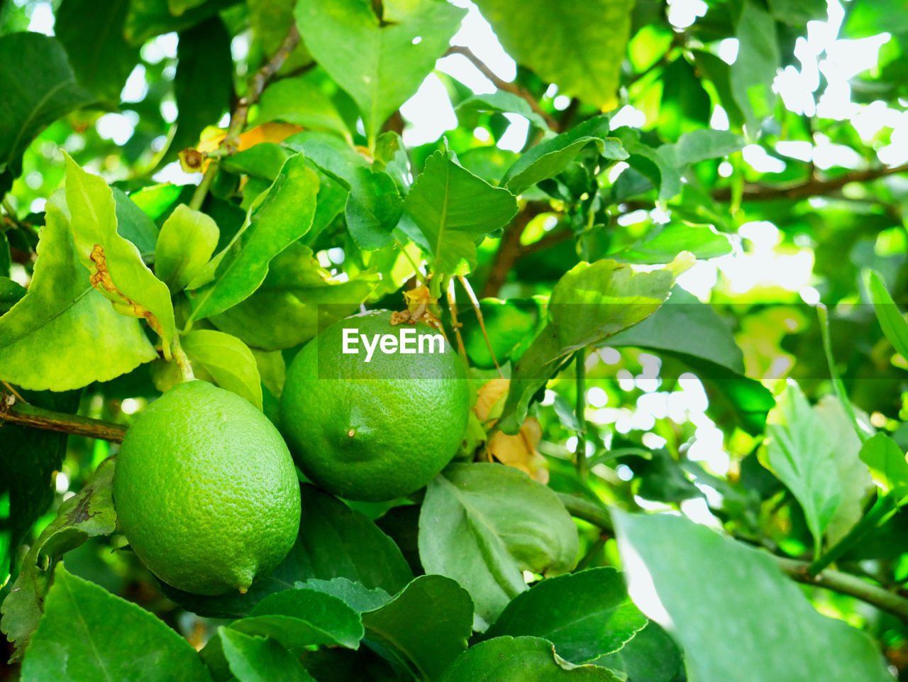 leaf, plant part, green color, food and drink, growth, fruit, plant, healthy eating, food, freshness, nature, close-up, wellbeing, tree, day, no people, fruit tree, outdoors, beauty in nature, focus on foreground, ripe
