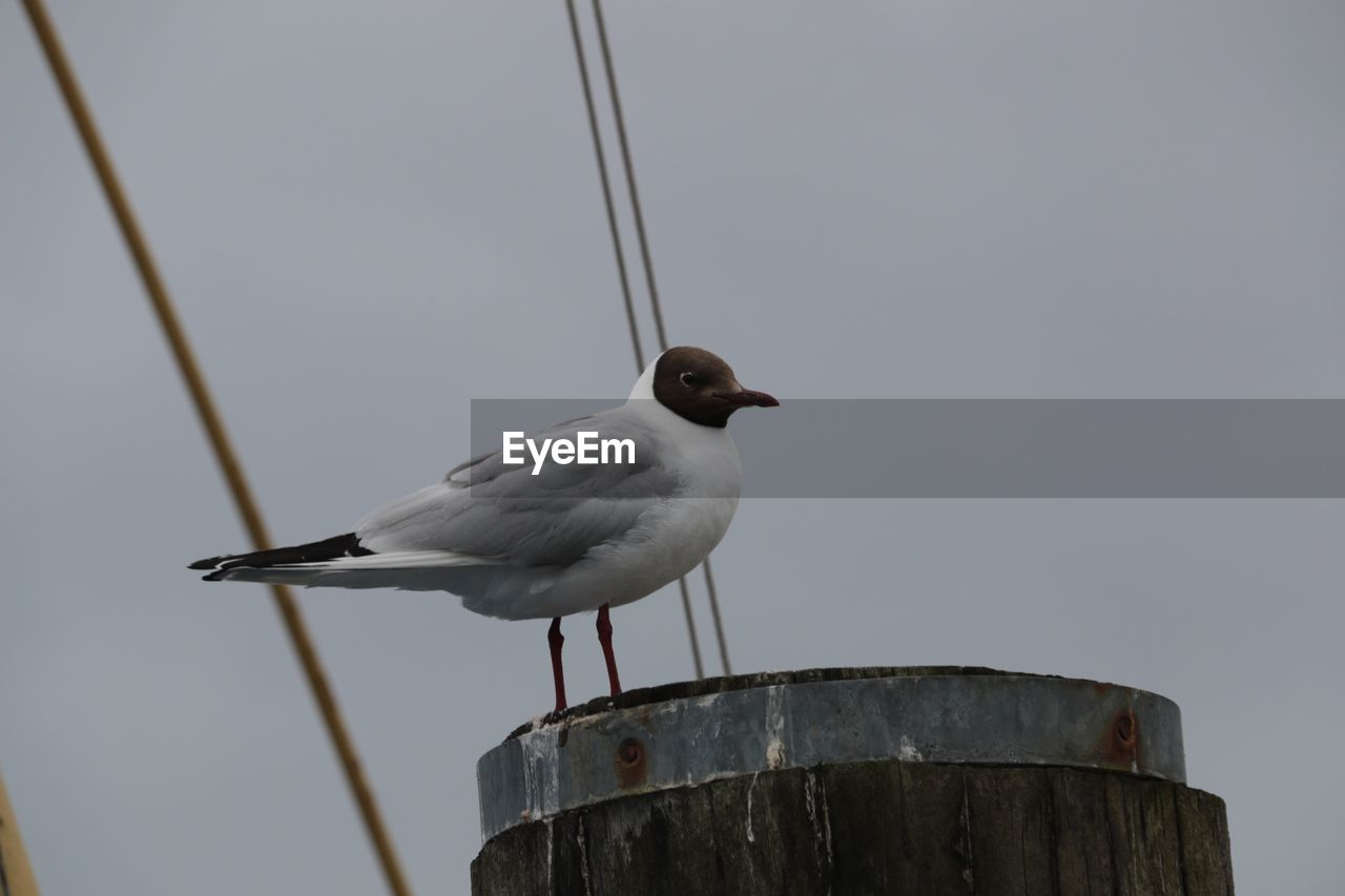 vertebrate, bird, animal themes, animal, perching, animal wildlife, animals in the wild, one animal, no people, nature, day, wood - material, metal, focus on foreground, low angle view, sky, close-up, outdoors, clear sky, rope, seagull, wooden post