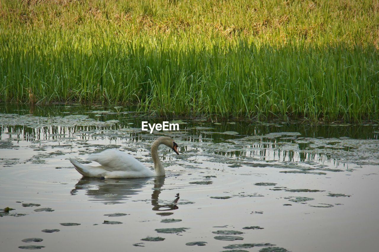 animals in the wild, animal themes, bird, swan, lake, young bird, young animal, swimming, water, animal family, wildlife, cygnet, nature, grass, water bird, animal wildlife, reflection, no people, one animal, day, outdoors, beak