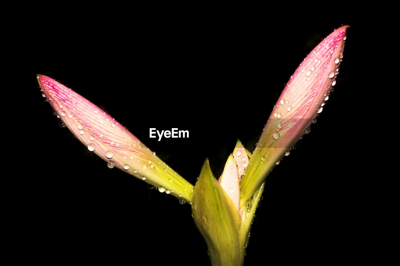 Close-up of water drops on bud over black background