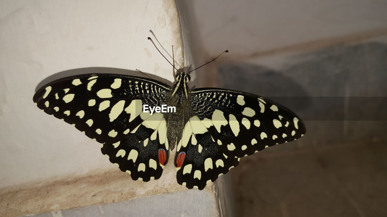 insect, animal wing, invertebrate, butterfly - insect, animal themes, animal wildlife, animals in the wild, animal, close-up, one animal, no people, beauty in nature, focus on foreground, butterfly, animal markings, natural pattern, day, nature, animal body part, wall - building feature