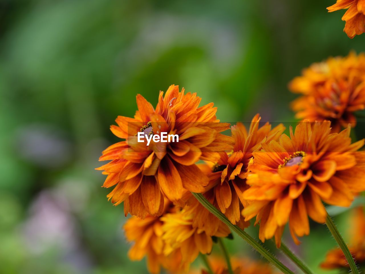 flowering plant, flower, fragility, vulnerability, beauty in nature, petal, plant, flower head, inflorescence, freshness, close-up, orange color, growth, focus on foreground, day, nature, no people, yellow, outdoors, selective focus
