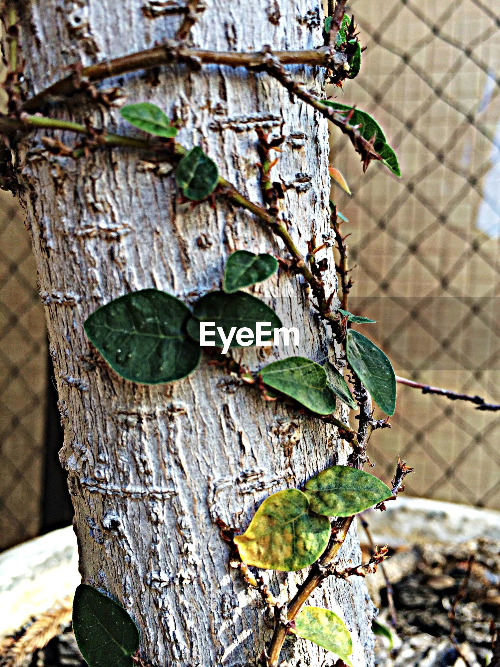 leaf, close-up, growth, tree trunk, plant, focus on foreground, branch, green color, nature, tree, outdoors, wood - material, day, ivy, no people, wall - building feature, stem, one animal, twig, growing