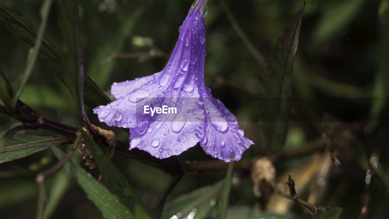 plant, drop, purple, beauty in nature, growth, close-up, freshness, wet, vulnerability, fragility, nature, flowering plant, water, flower, no people, petal, day, outdoors, flower head, dew, rain, raindrop, purity