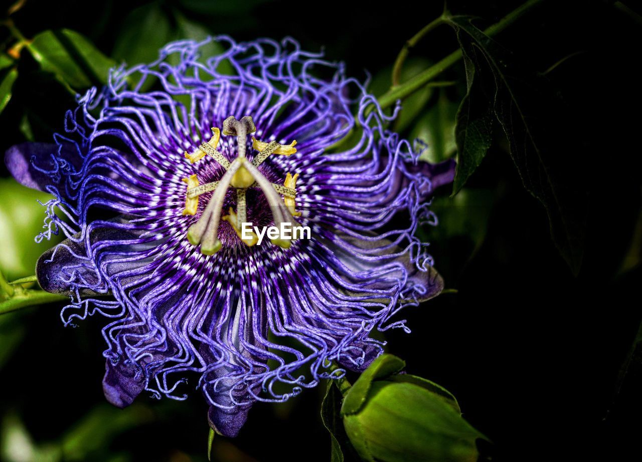 flower, petal, fragility, beauty in nature, freshness, purple, flower head, nature, growth, close-up, plant, drop, no people, leaf, blooming, passion flower, outdoors, day