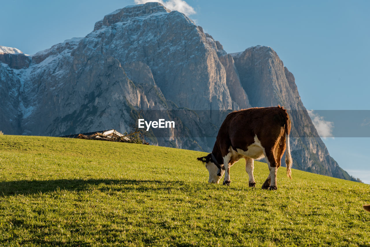 Low angle view of cow grazing in front of mountain