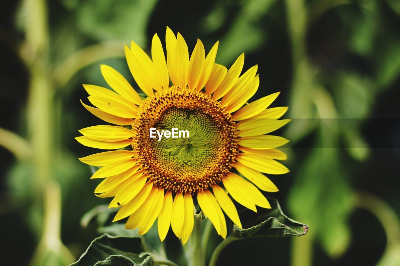 flower, flowering plant, yellow, flower head, fragility, vulnerability, plant, petal, inflorescence, freshness, beauty in nature, growth, close-up, pollen, focus on foreground, nature, sunflower, no people, day, outdoors, gazania