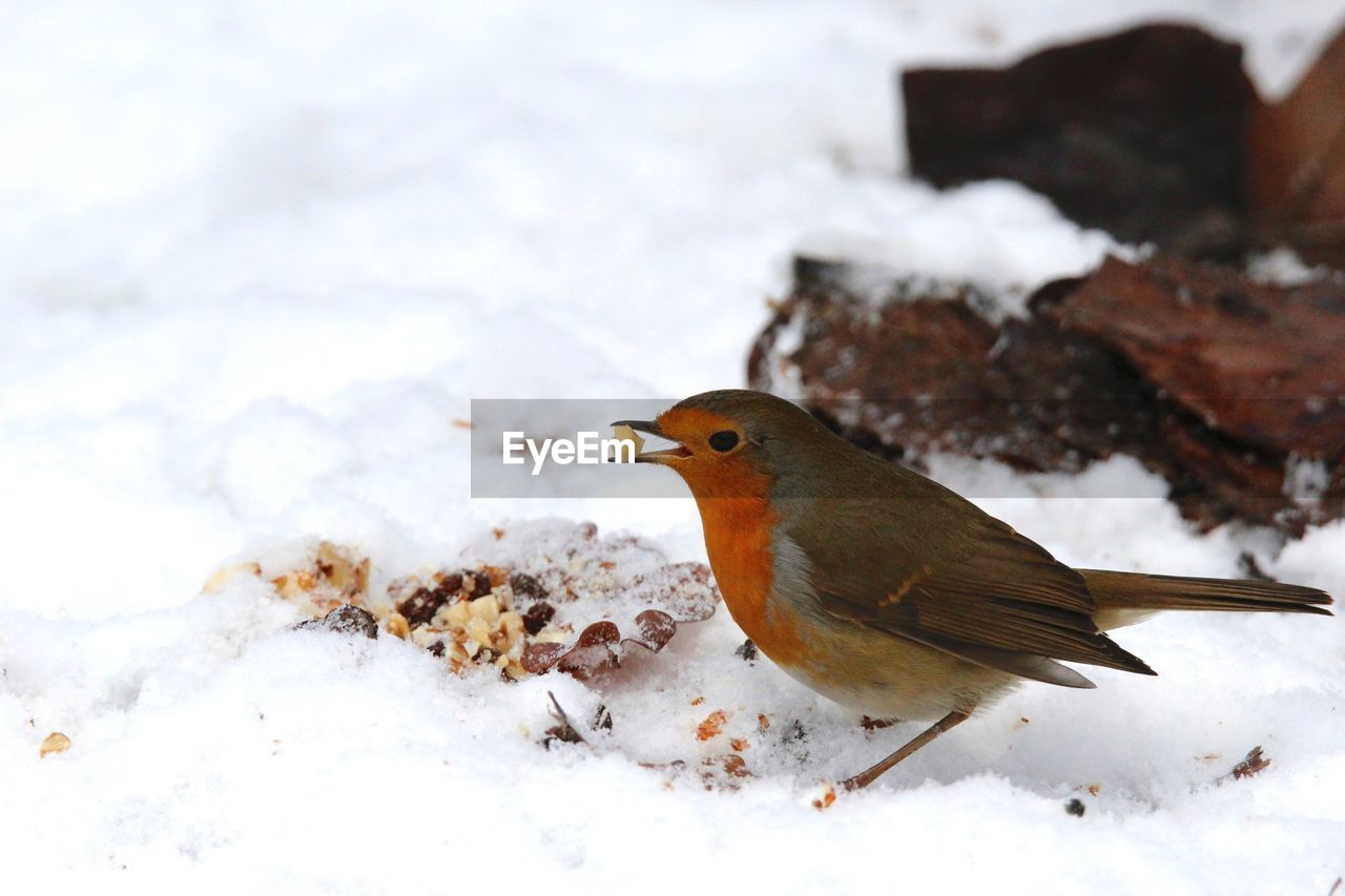 Close-Up Of Robin Carrying Food In Beak During Winter