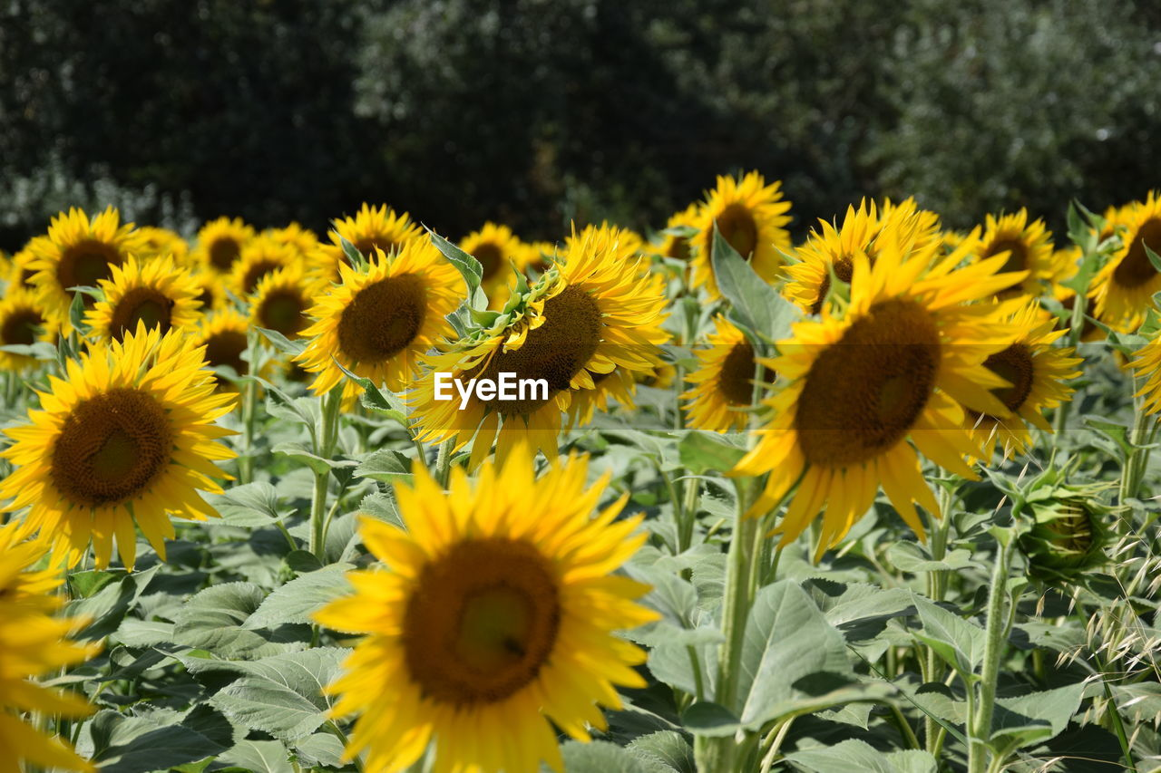 flower, flowering plant, yellow, freshness, plant, growth, fragility, flower head, beauty in nature, petal, vulnerability, inflorescence, close-up, nature, no people, sunflower, pollen, land, field, day, outdoors