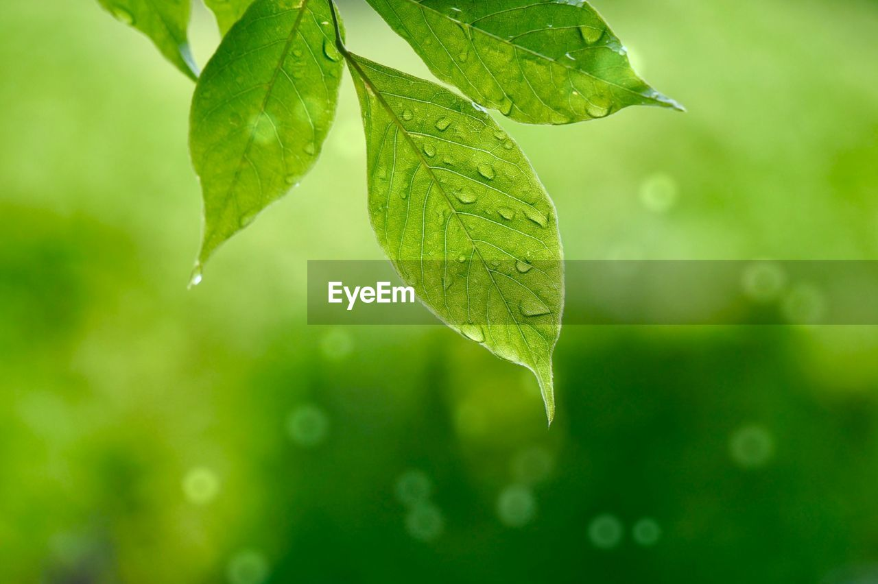 leaf, plant part, green color, plant, nature, close-up, no people, beauty in nature, growth, water, focus on foreground, drop, outdoors, wet, day, freshness, leaf vein, selective focus, vulnerability, herb, leaves, purity
