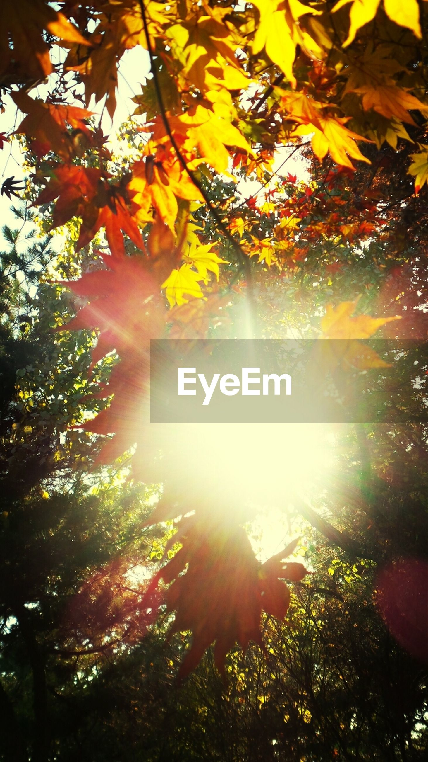 tree, sun, sunbeam, low angle view, sunlight, lens flare, growth, beauty in nature, nature, branch, leaf, back lit, tranquility, streaming, bright, sunny, scenics, autumn, day, outdoors