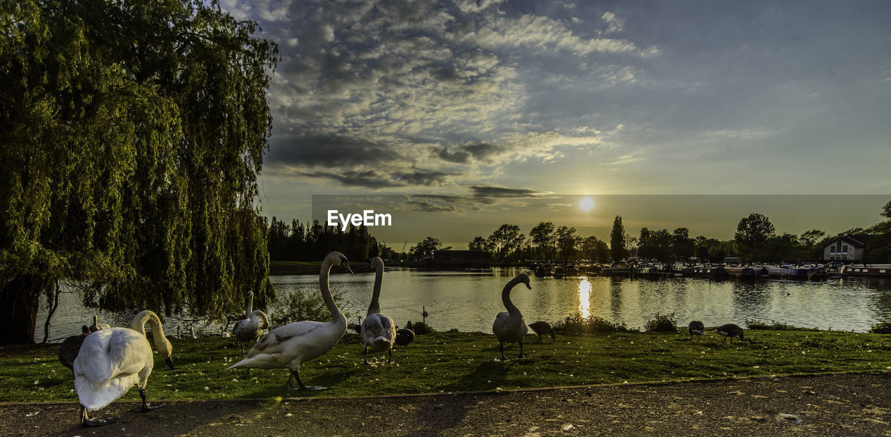 animal themes, animal, water, sky, bird, vertebrate, animals in the wild, lake, group of animals, animal wildlife, cloud - sky, tree, sunset, plant, nature, beauty in nature, lakeshore, no people, goose