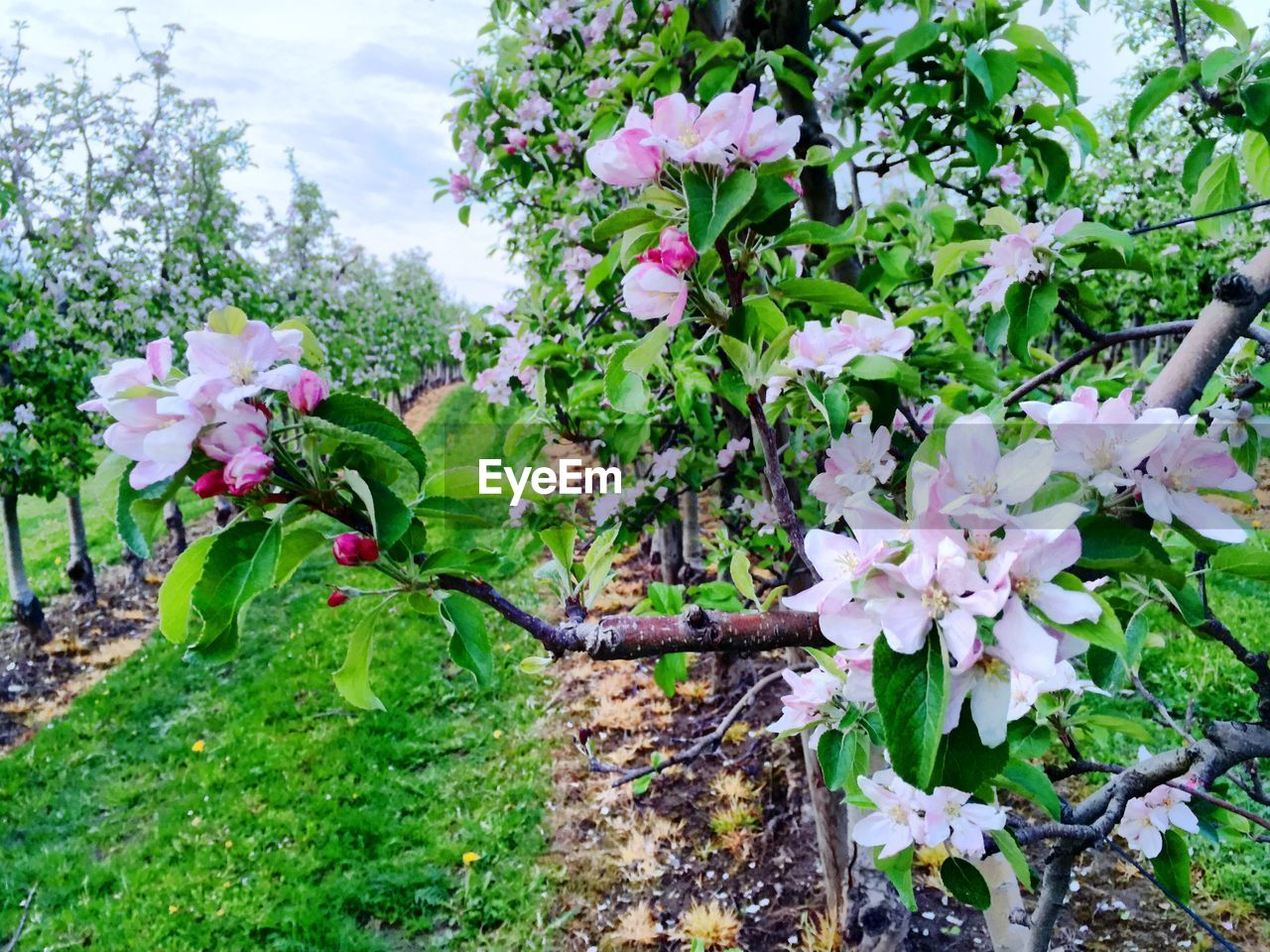 Close-Up Of Apple Blossoms In Park