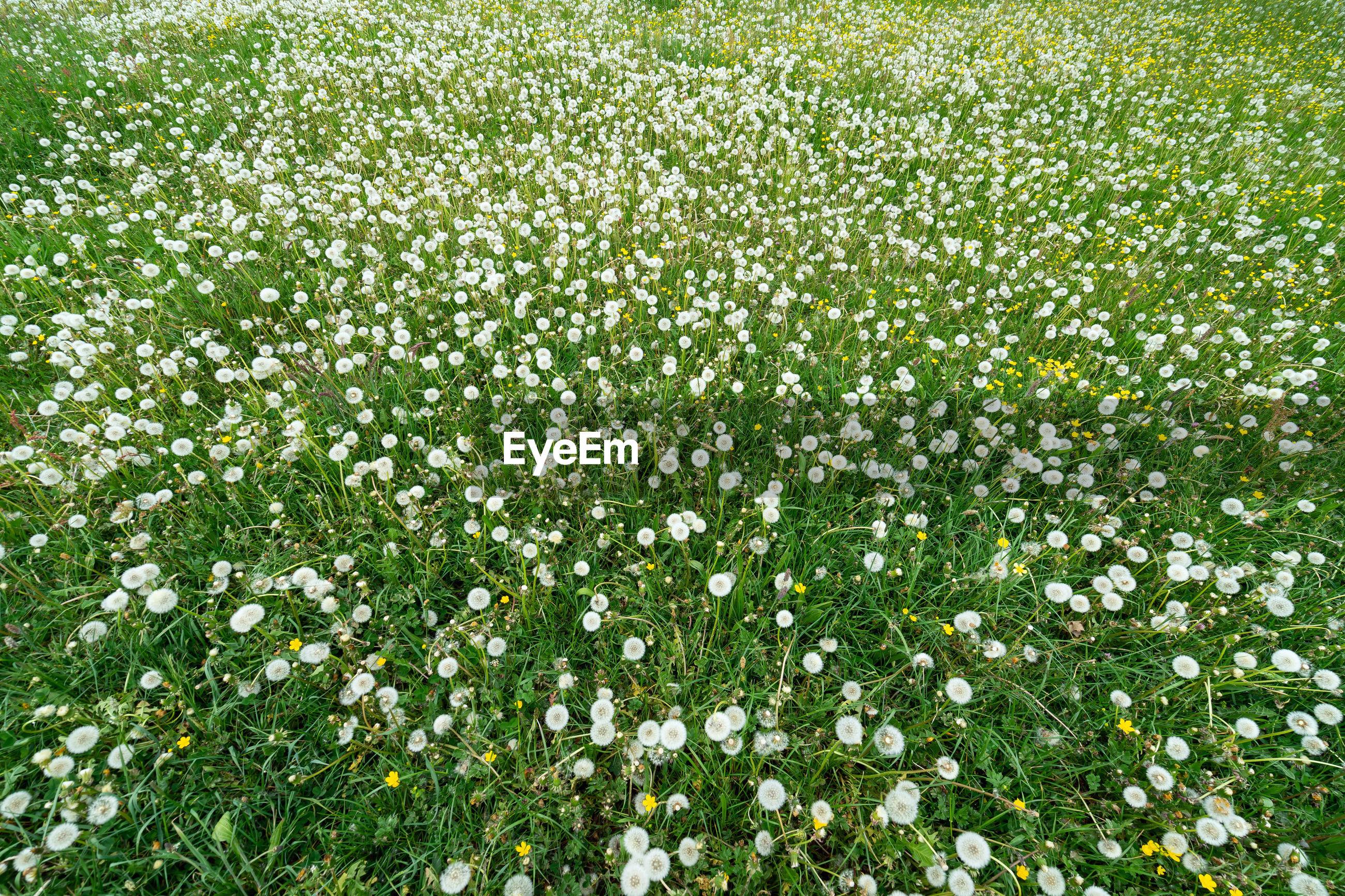 WHITE FLOWERING PLANT IN FIELD