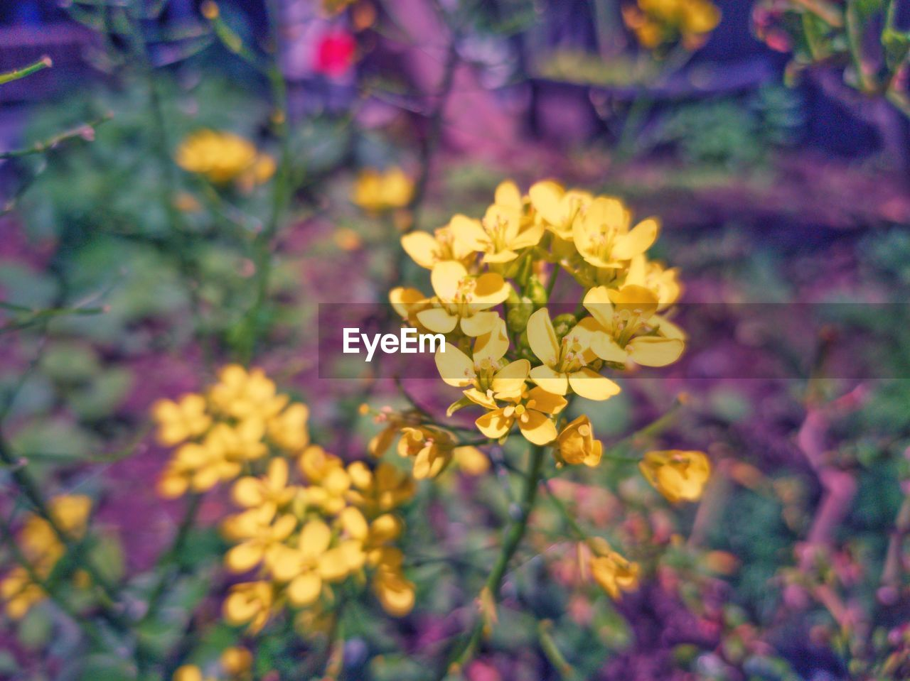 flowering plant, flower, plant, freshness, beauty in nature, yellow, fragility, vulnerability, petal, growth, close-up, inflorescence, no people, flower head, nature, focus on foreground, day, selective focus, outdoors, field