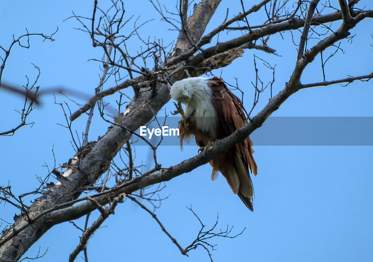 Low Angle View Of Eagle Perching On Bare Tree