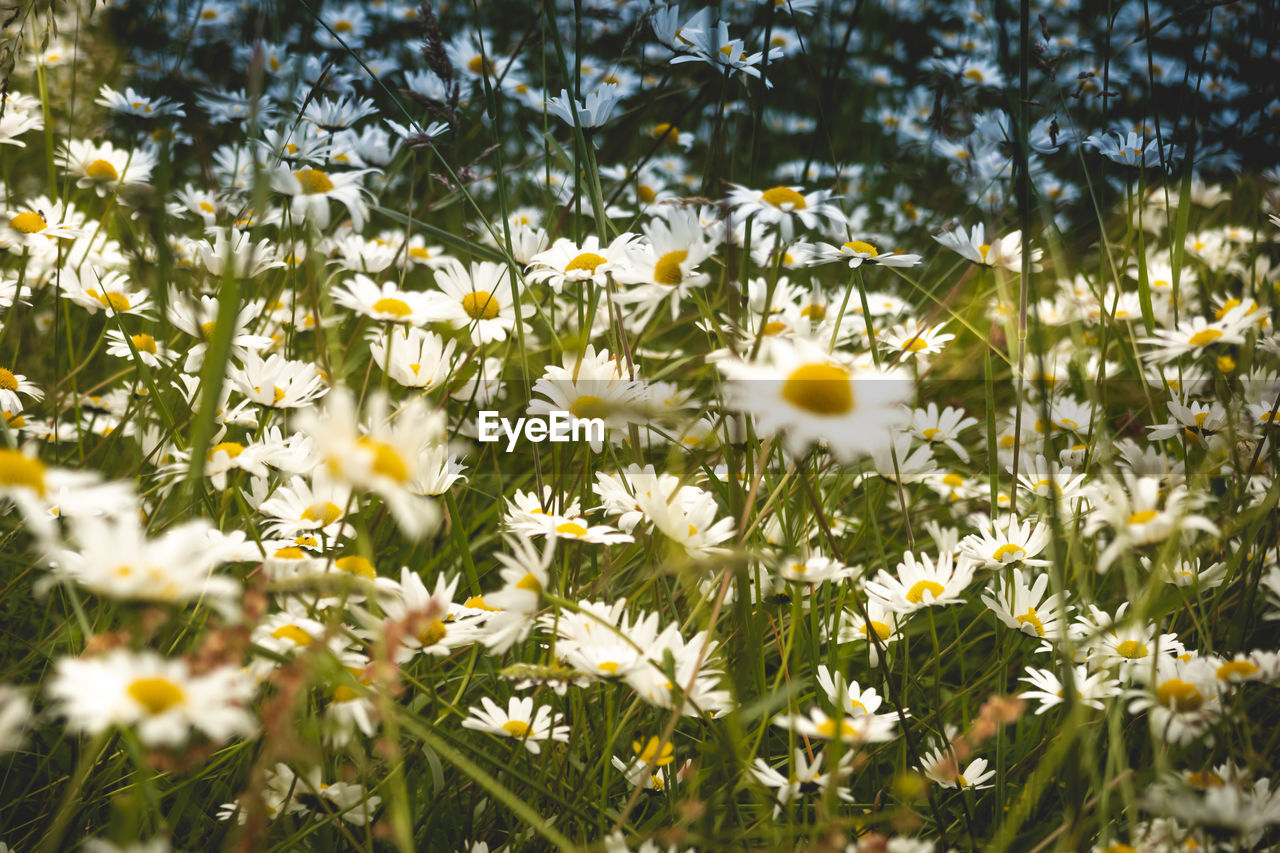 flowering plant, flower, freshness, plant, yellow, fragility, growth, vulnerability, beauty in nature, flower head, land, field, nature, inflorescence, no people, petal, close-up, selective focus, daisy, day, outdoors, springtime