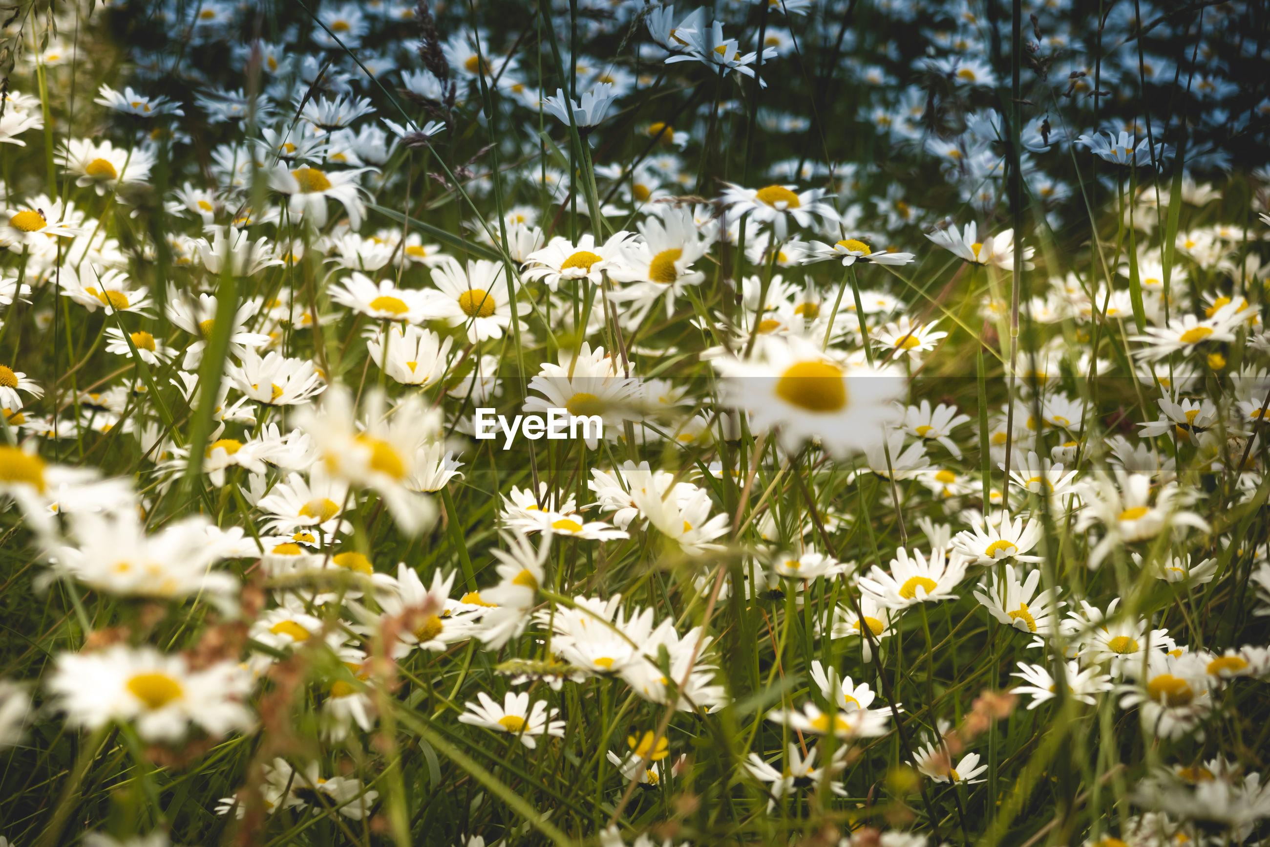 CLOSE-UP OF FRESH WHITE DAISY FLOWERS