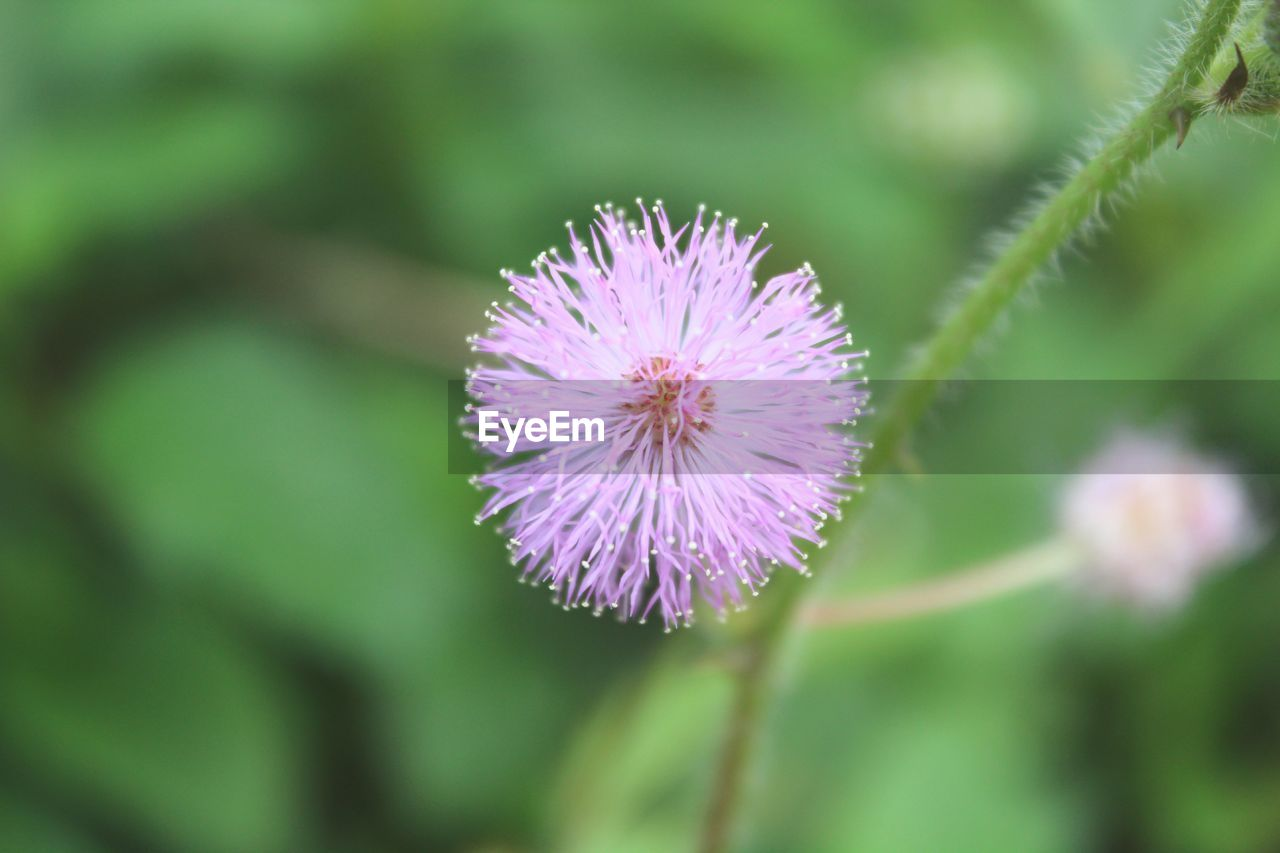 flowering plant, flower, fragility, plant, vulnerability, beauty in nature, freshness, petal, close-up, inflorescence, growth, flower head, nature, focus on foreground, selective focus, purple, day, no people, outdoors, pollen