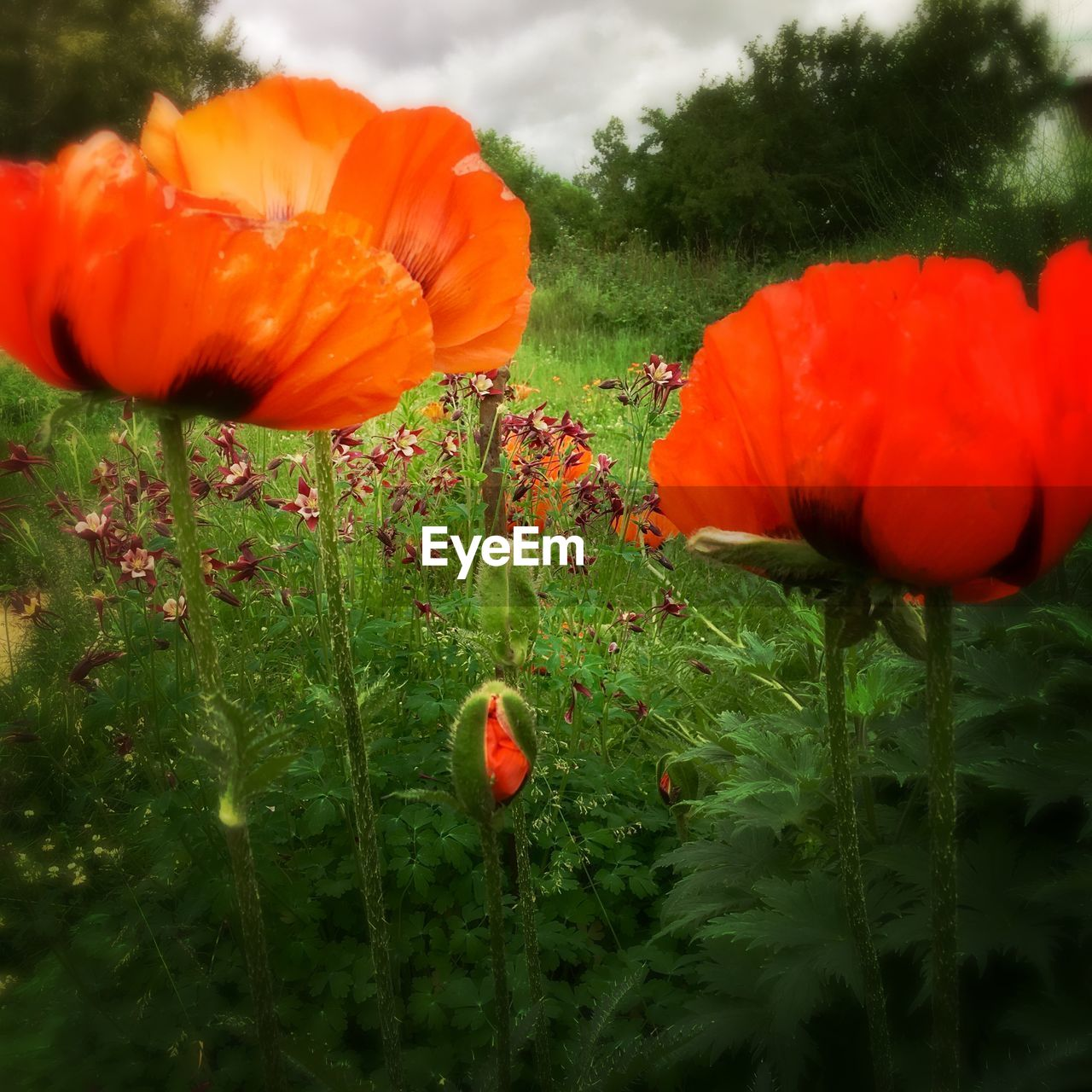 flower, growth, beauty in nature, nature, freshness, petal, poppy, orange color, fragility, plant, flower head, no people, red, tulip, outdoors, day, blooming, close-up, sky