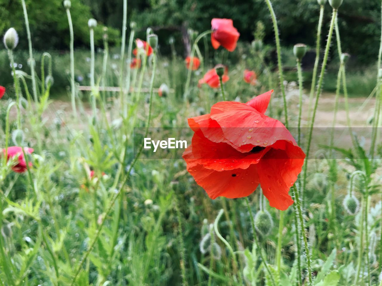 flower, growth, nature, poppy, petal, plant, beauty in nature, red, field, freshness, fragility, flower head, grass, no people, blooming, day, outdoors, close-up