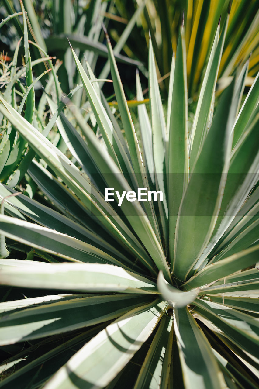green color, growth, plant, plant part, leaf, beauty in nature, close-up, no people, day, nature, focus on foreground, full frame, outdoors, freshness, backgrounds, natural pattern, succulent plant, pattern, high angle view, tranquility, palm leaf, blade of grass, spiky