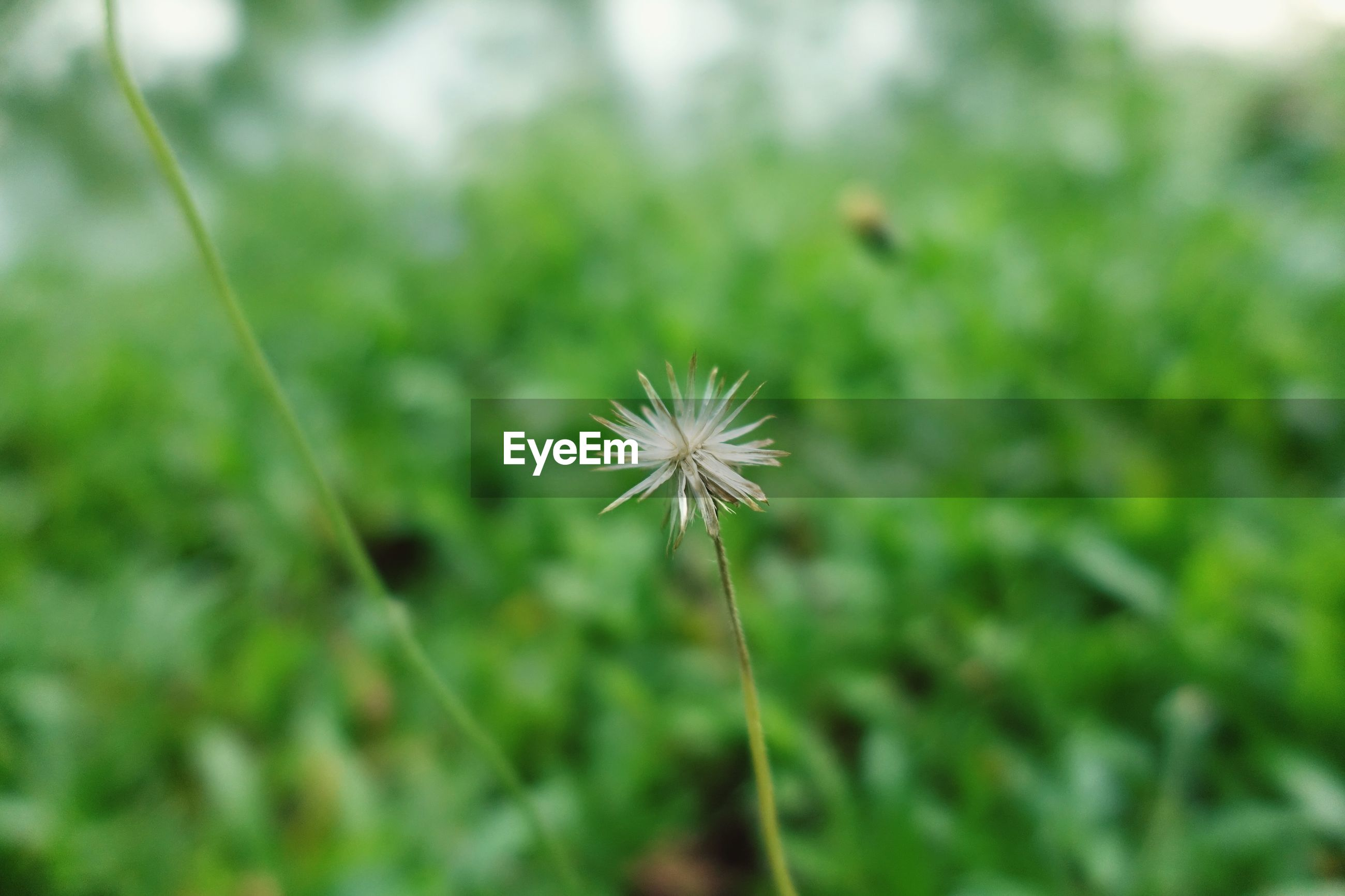 CLOSE-UP OF DANDELION FLOWER BUD ON FIELD