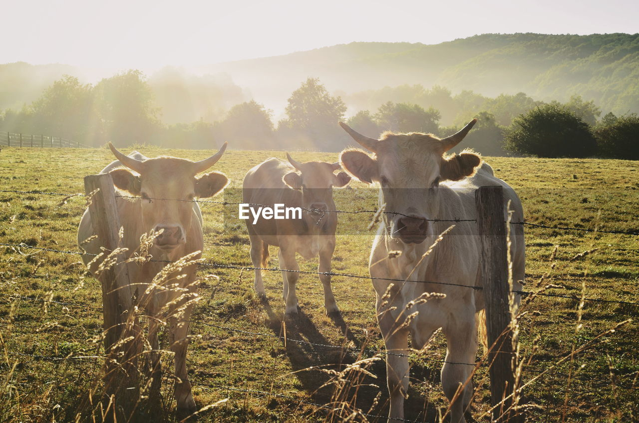 Cows standing in a field