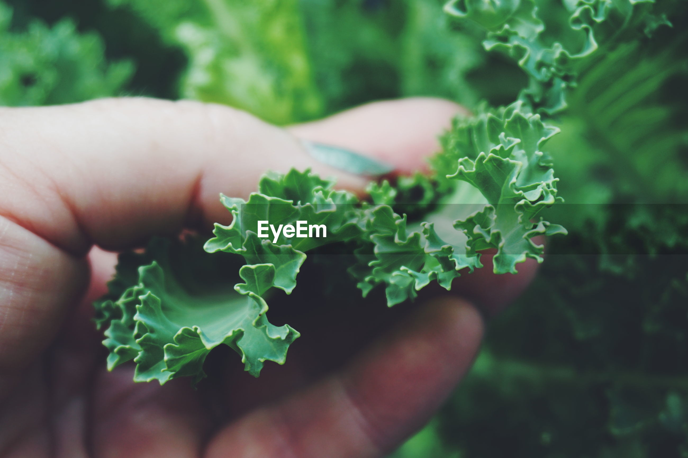 Cropped image of hand holding kale