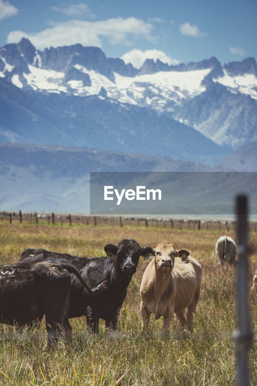 Cows grazing on field against snowy mountains and sky