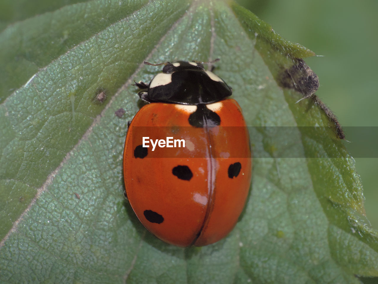 leaf, plant part, invertebrate, insect, beetle, close-up, ladybug, plant, animal themes, animal, animal wildlife, animals in the wild, one animal, nature, no people, green color, focus on foreground, orange color, day, growth, outdoors