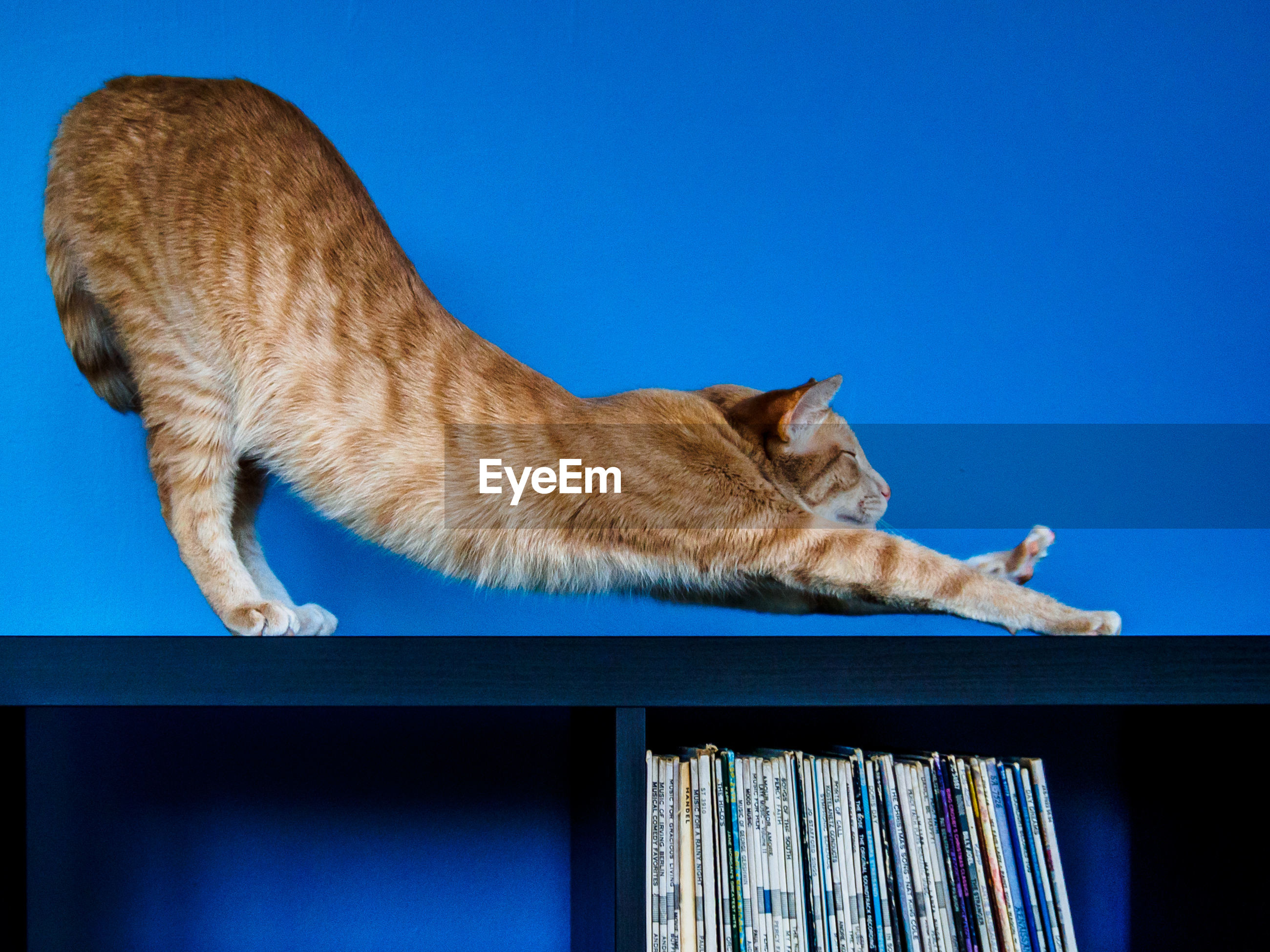 Ginger cat stretching on cabinet against blue wall
