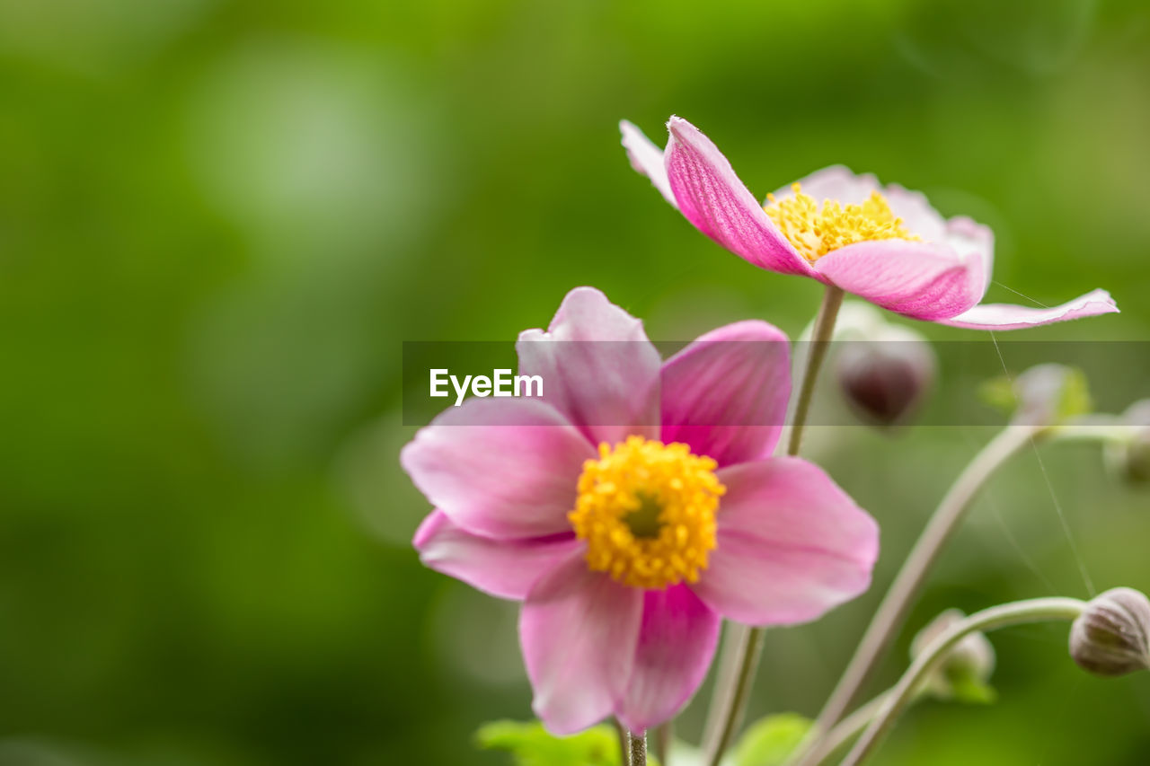 flowering plant, flower, plant, fragility, vulnerability, freshness, beauty in nature, petal, growth, pink color, close-up, inflorescence, flower head, day, no people, nature, focus on foreground, pollen, outdoors, selective focus