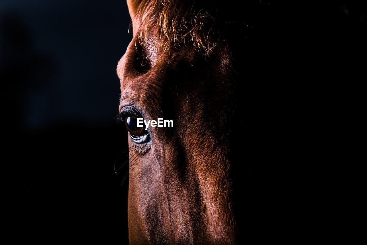 Portrait Of Brown Horse Against Black Background