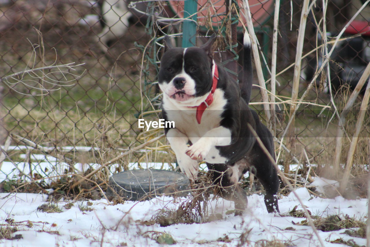 Staffordshire Bull Terrier Running On Snowfield Against Chainlink Fence