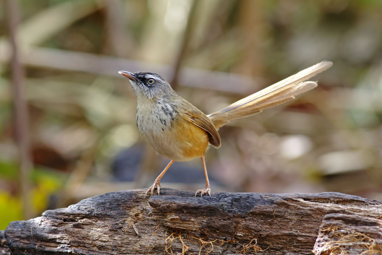 animal, animal themes, bird, one animal, animal wildlife, vertebrate, animals in the wild, focus on foreground, perching, no people, day, close-up, wood - material, nature, outdoors, songbird, looking, full length, looking away, zoology